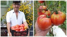 Îngrășământ natural pentru legume: Rețeta fără chimicale pentru producții cu 30-40% mai mari Vegetables, Cottages, Solar, Gardening, Home, Agriculture, Plant, Life, Cabins