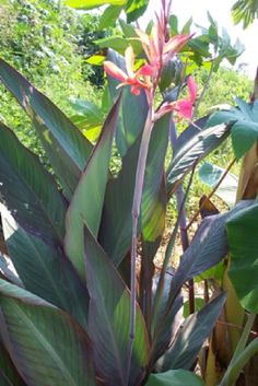 "Canna Lily ""Bird of Paradise"" live plant Cannaceae - Click Image to Close Pool Plants, Indoor Flowering Plants, Tropical Plants, Canna Lily, Birds Of Paradise Plant, Mother Plant, Plant Sale, Live Plants, Growing Plants"