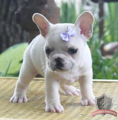 French Bulldog puppy - Miss Daisey