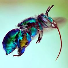 This is an #Orchid #Bee, species unknown. Orchid #Bees belong to the tribe #Euglossini and are from the family #Apidae and order #Hymenoptera. They are found in #Neotropical regions. Most Orchid Bees are solitary. Some species of #Orchids are exclusively pollinated by male bees. #entomology #insect #entomologist #tropical #metallic photo by Efram Goldberg