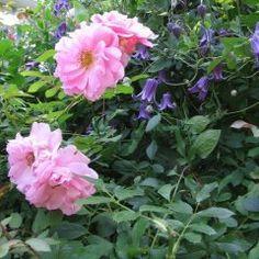 Rose, Climbing