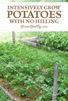 Grow Potatoes Intensively with No Hilling: Grow Biointensive is an organic agricultural system that focuses on attaining greatest yields from a small garden area. Growing potatoes using the grow biointensive way allows greater yield in a small space.