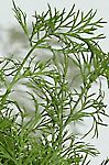 Dill weed nutrition facts and health benefits