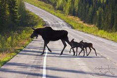 Love those ungainly looking moose!