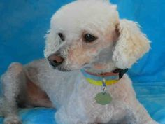 I am a neutered male, white Poodle - Miniature.  The shelter staff think I am about 8 years old.  I have been at the shelter since Mar 07, 2014. For more information about this animal, call: Upland Animal Shelterat(909) 931-4185 Ask for information about animal ID number A035743