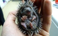 This tiny hedgehog had a lucky escape after it was saved from a bonfire along with three siblings. A home owner in Piltdown, East Sussex, was clearing overgrown bushes in his garden and had piled the vegetation ready to start a bonfire. But when he went to light it, he heard little squeaks coming from the debris. He discovered four 10-day-old hedgehogs inside and called in animal rescuers.    by Ferrari Press Agency