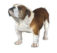 English Bulldog. Pencil and colored pencil on paper.