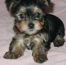 8 Best Morkie Haircuts Images Morkie Yorkie Puppies