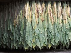 drying tobacco leaves. . . not that i am an advocate - just memories of growing up on a tobacco farm.   Am an advocate of small scale sustainable farming.