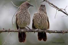 The arrow-marked babbler is a species of bird in the Leiothrichidae family.
