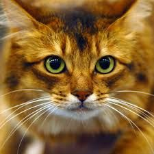 Somali Cat - Google Search