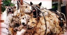 Last weekend in the city of Yulin in China, a festival in which around 10,000 dogs and cats were consumed, which is sheer madness. We have to stop this so that next year this festival will not be celebrated again! There is still time to stop this atrocity for next year and forever. Sign if you are against the Yulin festival, together we can. Please, we need to get this to senior positions in China, share this petition by all social networks and all your friends, if we get together we can all…