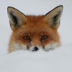 Red Fox by Sweetmart - Matt Binstead