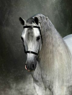 Pura Raza Española stallion 'Max', portrait. photo: Kevin Kidder.