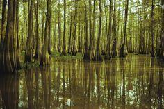 Este refúgio conta com 1,5 milhão de acres de pântanos e lagos, com mais de 200 espécies de pássaros residentes e migratórios, em Bayou Long, no Estado da Louisiana, nos Estados Unidos
