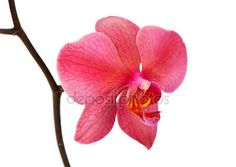 Download - Pink orchid isolated on white — Stock Image #7158032