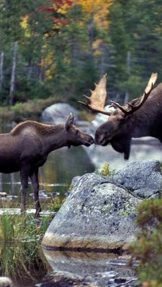 #wildlife ... the look of love ... #moose ... looks like a first kiss ...