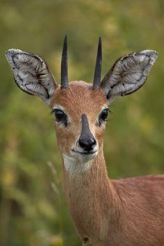 Male Steenbok (Raphicerus campestris), Kruger National Park, South Africa, Africa - Male Steenbok (Raphicerus campestris), Kruger National Park, South Africa, Africa