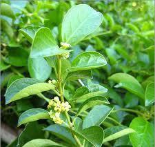 Plantas Medicinales Para La Diabetes Tipo 1 y 2