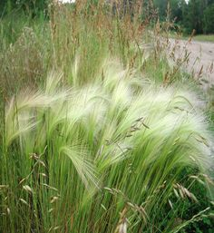 Hordeum jubatum Foxtail barley may be palatable for animals in early spring before it flowers, its seed heads, when dry, are very harmful to grazing animals.