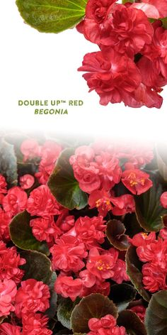 Double red flowers are a sight to behold against the bronze to black foliage of Double Up Red begonia. With a dense, upright habit, this vigorous annual is great for both the landscape and container gardens. Unify both sunny and shady spots in your landscape - Double Up Red will grow in both sun and shade! This plant is heat tolerant and will look great all summer long. Combine that with continuous blooming through frost with no need for deadheading and you've got a sure winner for easy… Edging Plants, Border Plants, Red Plants, Types Of Plants, Red Flowers, Colorful Flowers, Deadheading, Proven Winners, Plant Needs