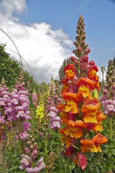 snapdragons, lost gardens of heligan. A place full of my favorite flowers, yes please!