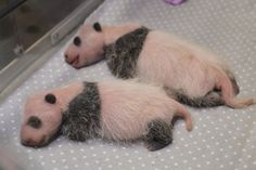 Unbearable cuteness #TOPandaCubs