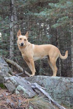 Ginger The Carolina Dog Being Gorgeous!! #carolinadog #carolinadogadventures https://www.facebook.com/carolinadogmodel/?fref=ts