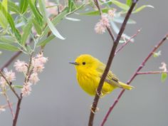 The American Yellow Warbler (Setophaga petechia) is a New World warbler species, breeding in almost the whole of North America and down to northern South America. Photo by Ron Bielefeld.