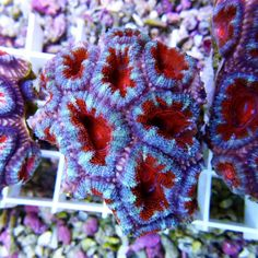 Acanthastrea lordhowensis Rising Sun M2 - Colorals Rising Sun, Lps, Sunrise, Coral, Sunrises, Sunrise Photography