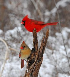 Cardinals - one of my favorite birds.  So cheery on a winter's morning
