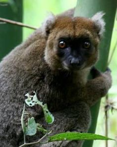 the Greater Bamboo Lemur | Fewer than 100 of these Critically Endangered animals remain