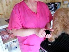 Trimming a Wheaten Terrier - Part 1