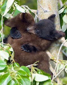 Two cuddling bear cubs