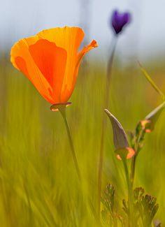 california poppy, east bay