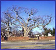 Famous 400-year-old tree at the old Pittsgrove Presbyterian Church in Salem County, New Jersey