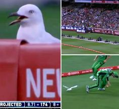 A seagull at a Big Bash cricket match T20 Cricket, Cricket Match, Soccer, Big, Sports, Hs Sports, Futbol, Soccer Ball, Excercise