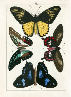 F. Berge Butterfly Prints 1842
