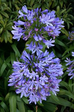 Agapanthus africanus is an evergreen perennial with good strappy leaves.  This South African native bears stout erect stems with umbels of funnel-shaped, blue flowers and it looks great in pots or planted in swathes in sun or partial shade.  It makes 0.5-1m in height with a spread of 0.5m.