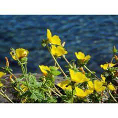 【taka.co.710】さんのInstagramをピンしています。 《#flowers #plants #ig_japan #nature #naturelovers #petals #flowerstagram #sea #lovers_nippon  #awesome #sky #ig_world #sizuoka #izu #butterfly  #花 #はなまっぷ #花フレンド #花好き #空 #雲 #ザ花部 #キタムラ写真投稿 #静岡 #伊豆 #ポーチュラカ #海 #海好き 09/05/2016》