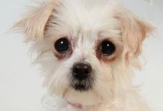 Petango.com – Meet Summer, a 7 years 6 months Maltese available for adoption in COLORADO SPRINGS, CO