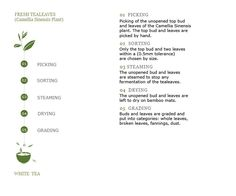 White Tea Processing Chart