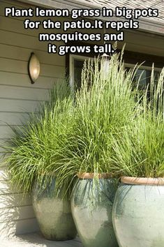 Plant lemon grass in big pots for the patio. It repels mosquitoes and it grows tall. Plant lemon grass in big pots for the patio. It repels mosquitoes and it grows tall. Diy Garden, Dream Garden, Lawn And Garden, Home And Garden, Garden Grass, Balcony Garden, Herb Garden, Garden Beds, Garden Ideas Diy