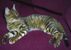 Toyger Breed - Cat Information & Pictures