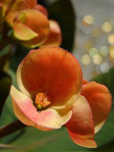 Euphorbia 'Sunshine'
