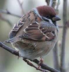 Cute Birds, Pretty Birds, Beautiful Birds, Animals And Pets, Cute Animals, Sparrow Bird, Garden Animals, Kinds Of Birds, Little Birds