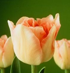 """Another great """"step by step"""" on forcing tulips.  Thanks to the National Gardening Association"""