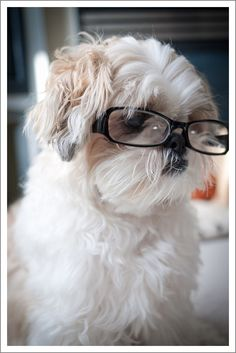 Another cute shot with glasses. #shih tzu #dogs #puppy #cute