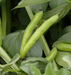 Broad bean 'Broad Windsor': first harvest 5 May, final harvest (?) 12 June. New growth produced 2nd harvest 16 July. Sow Sept for April harvest.