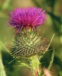 Image result for scotland thistle